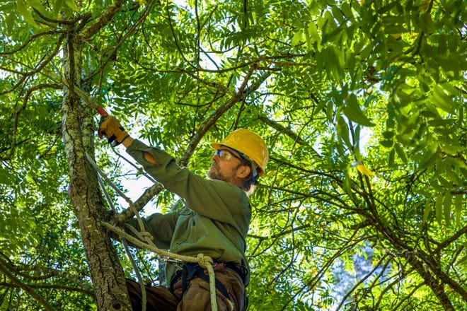 Removal of dead, dying, or diseased branches of woody plants promotes health and improves safety.