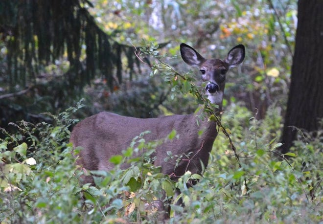 A white-tailed deer spotted in Hingham's Bare Cove.