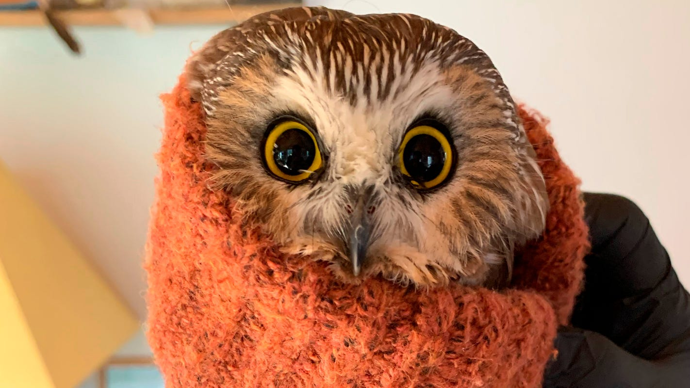 Rocky, the owl stuck in the Rockefeller Center Christmas tree, is now a free bird