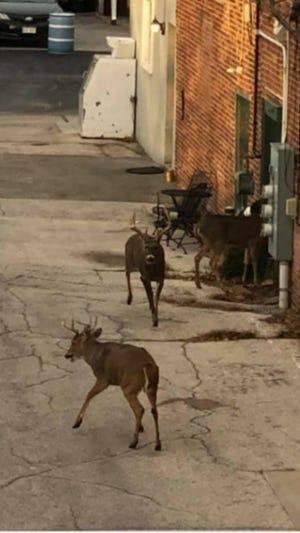 Deer were spotted in downtown De Pere Thursday before deer gun hunting kicks off Saturday.