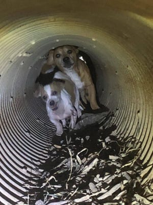 Two of several dogs which were captured by animal control in a drain pipe, that were believed to have been dumped by their owner.