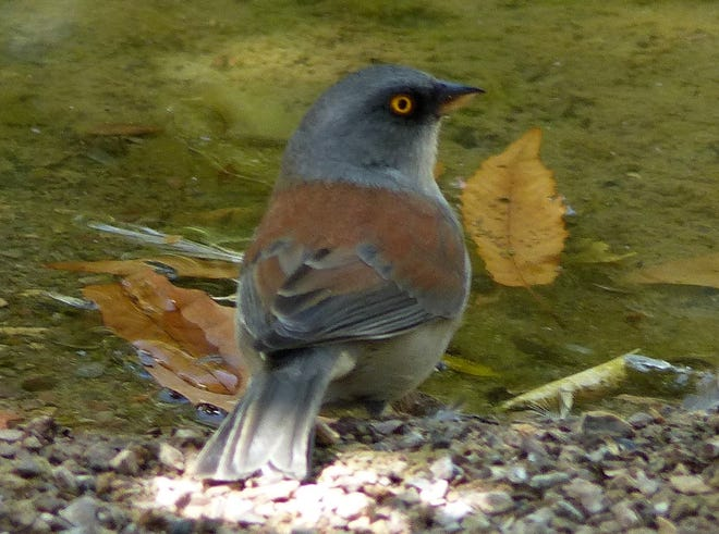 A yellow-eyed junco visits a birdbath in a Mesilla Valley yard in October 2020.