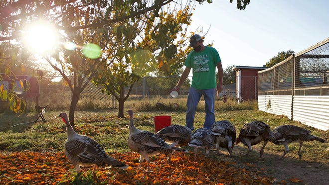 Jeffrey Sorelle feeds his flock of turkeys in an enclosure on his property near San Angelo on Wednesday, Nov. 11, 2020.