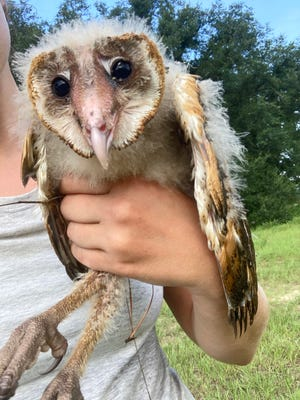 This injured baby barn owl was rescued at the Jones Center at Ichauway, in Newton, Georgia, and taken to St. Francis Wildlife.
