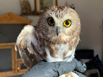 In this photo provided by the Ravensbeard Wildlife Center, Ravensbeard Wildlife Center Director and founder Ellen Kalish holds a Saw-whet owl at their facility in Saugerties, New York on Nov. 18, 2020.
