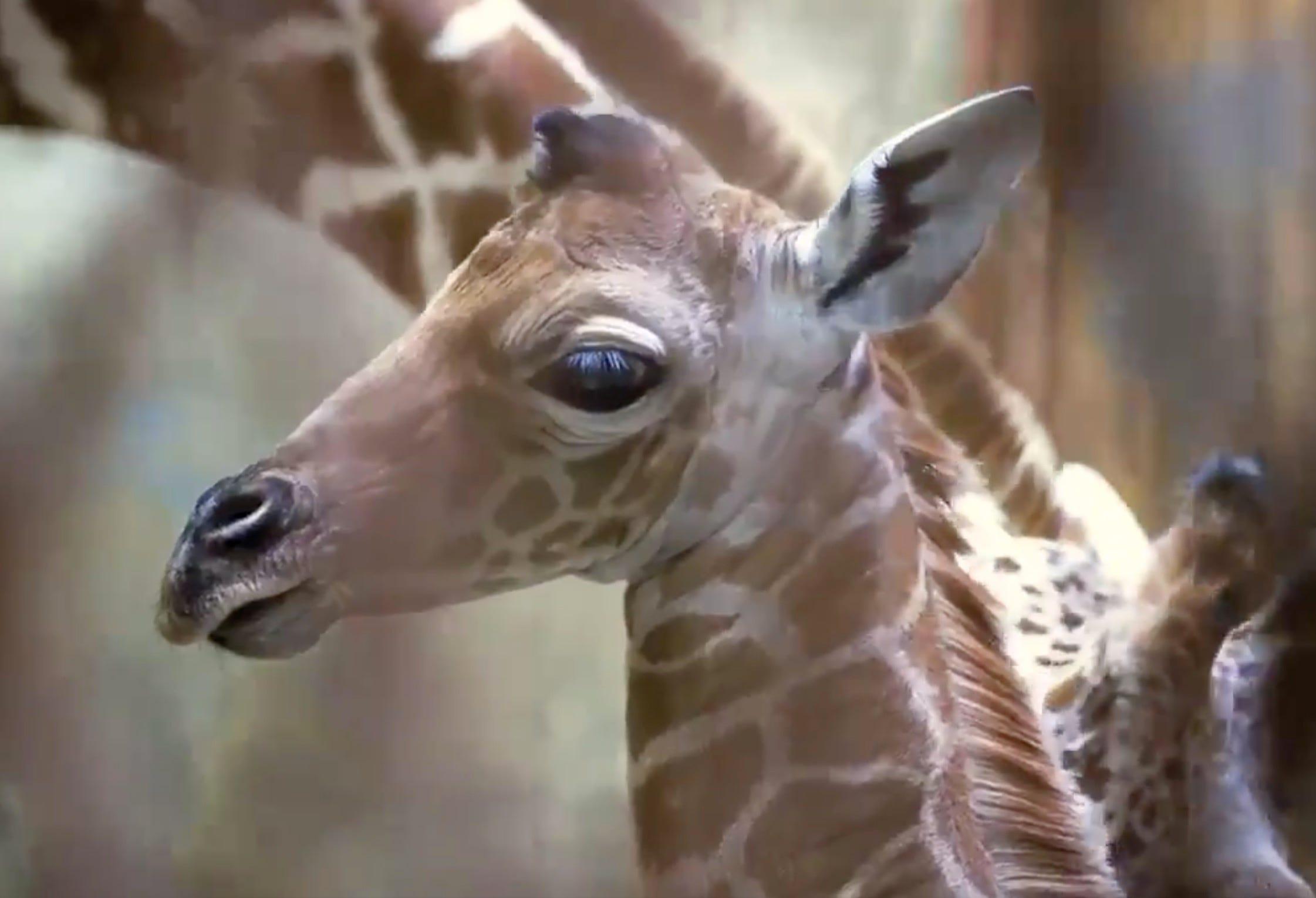 Memphis Zoo names newborn giraffe 'Ja Raffe' after Grizzlies star Ja Morant
