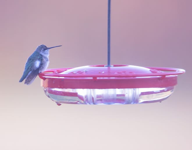A black-chinned hummingbird that made an appearance earlier this month, is a first for Ohio.