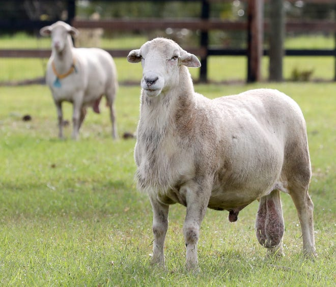 Thor, a ram sheep at the Four and Change Farm, watch the guests move past the pasture, Friday November 20, 2020 during the Volusia Farm Tour.