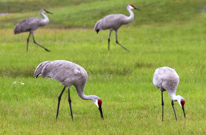 Sand Hill cranes offer lessons for education, community, security and more.
