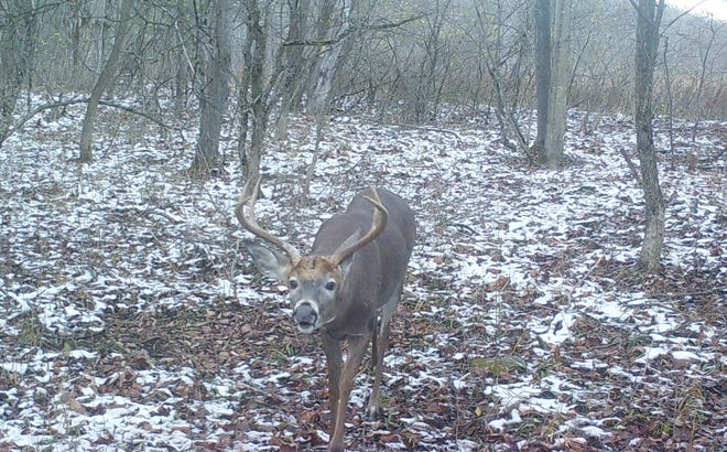 Bucks are much easier to see when there is a dusting of snow.