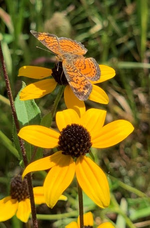 A butterfly gets fuel on a flower at the Monarch Fueling Station in October at Big River Resources in West Burlington.