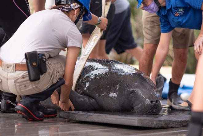 Jacksonville Zoo workers prepare a manatee named Luisa for release in Daytona Beach waters. She recovered at the zoo after a boat strike in Volusia County.