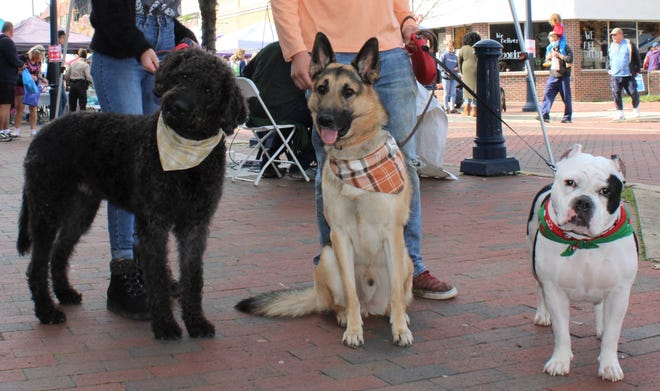 Double Doodle Great Gatsby, German shepherd Koda, and American Bully Roxy pose for a photo while attending the Fall Fur Fest in Downtown Hopewell on Nov. 14, 2020.