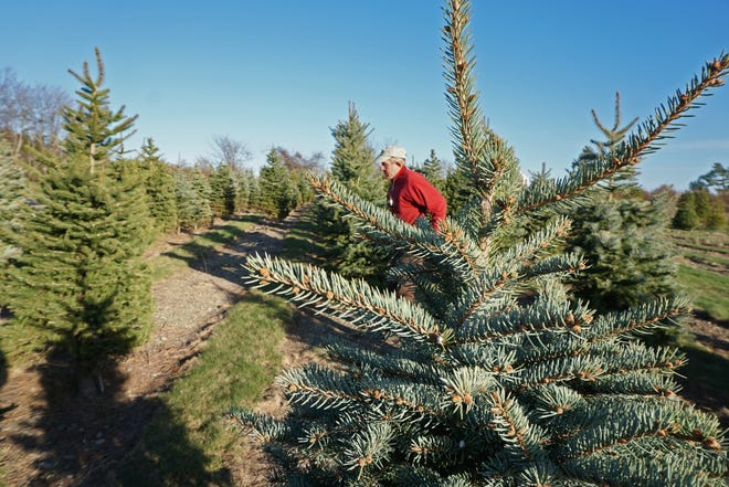 Jan Eckhart is co-owner of Sweet Berry Farm, which is selling Christmas trees. [The Providence Journal / Sandor Bodo]