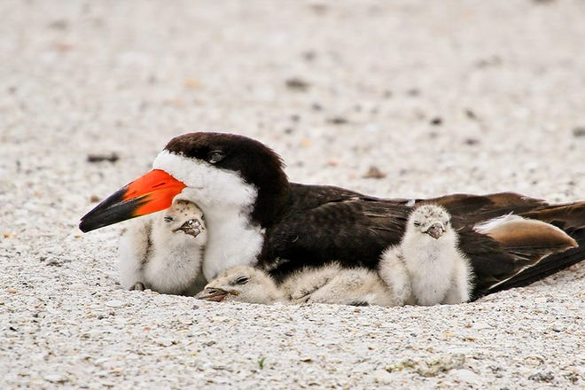 A Black Skimmer with her babies, seen regularly at Lea-Hutaff Island and the south end of Wrightsville Beach.