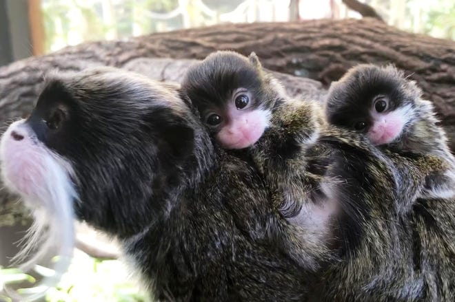 Second set of bearded emperor tamarin twins were born at Buttonwood Park Zoo last month.