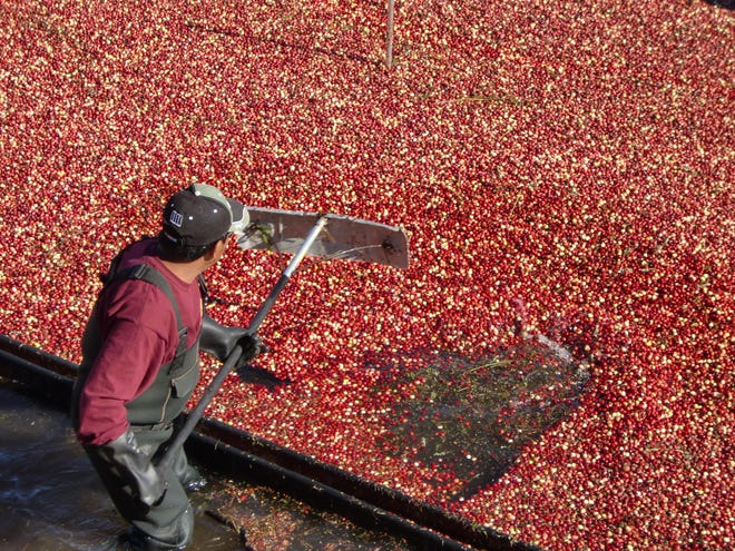 A bog worker rakes corralled cranberries during the Cranberry Harvest Festival at A.D. Makepeace in Wareham.