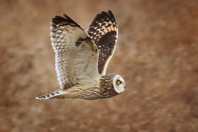 Migrant short-eared owls hunt an hour or so before dark, flying low, just above grass-top level, providing excellent viewing for winter-time birders.