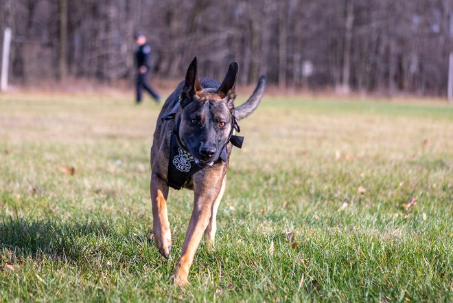 The Unadilla Township Police Department's newest K-9, Koa, on the move doing a field search.