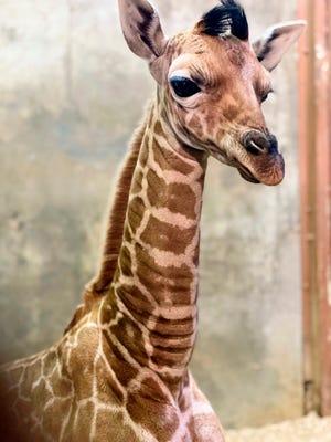 The Memphis Zoo has a newborn reticulated giraffe named Ja Raffe. The zoo said it has named the baby giraffe Ja Raffe after Memphis Grizzlies guard Ja Morant. The giraffe was born Nov. 10.