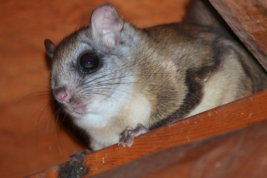 Closeup of a Northern Flying Squirrel.