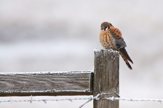 This male American Kestrel fluffs his feathers against the cold.