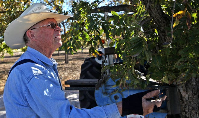 Chester McCown checks on a pecan tree at one of his orchards in Miles on Wednesday, Nov. 18, 2020.