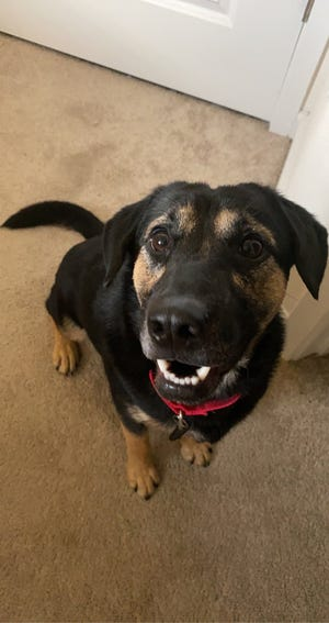 Liam's adoption fee would be $60, which includes his neuter surgery, vaccines, 12 months supply of heartworm prevention, and his microchip + registration.