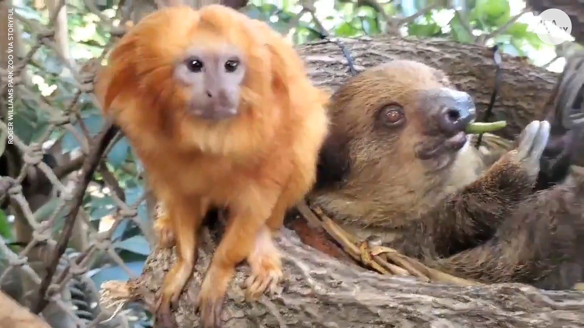 Tamarin spends quality time with sloth during snack time at a zoo in Providence