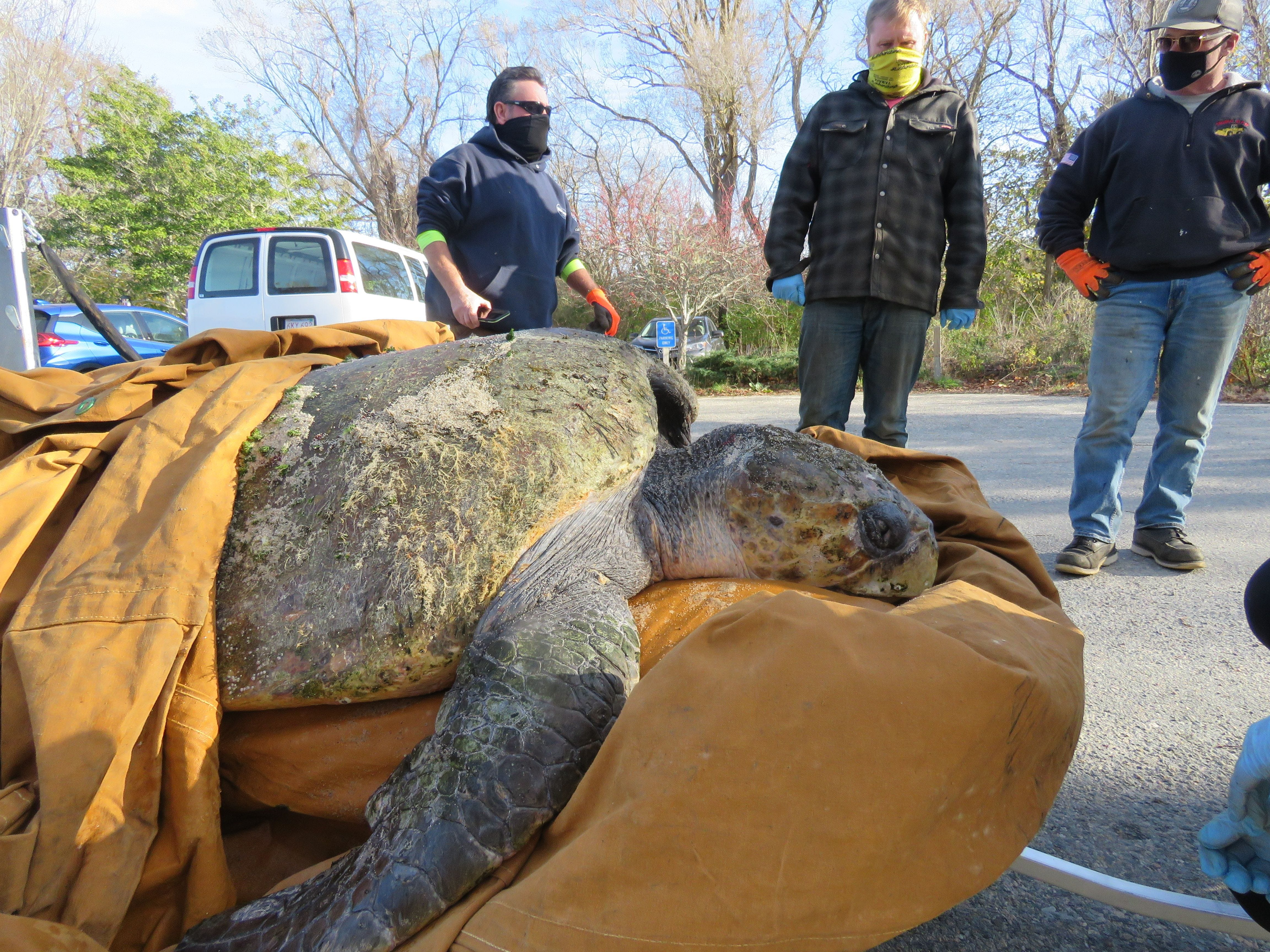 350-pound loggerhead among more than 150 cold-stunned turtles rescued in Massachusetts