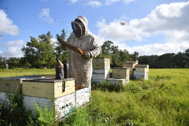 James Cutway checks on his bee colonies in a pasture in Manatee County on Thursday, Oct. 29, 2020.  Cutway owns Myakka's Gold Apiary.  His business specializes in local, raw honey and live bee relocation.