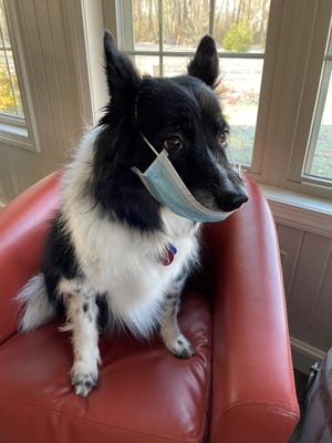 Daisy dons a mask as she reminds Holmes County residents to buy their 2021 dog tags. The Auditor's Office encourages dog owners to request license applications by mail or online this year because of COVID-19.