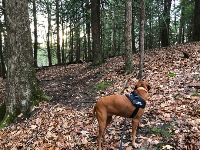 Rosie looks down the path on the red trail in Wesley Hill Nature Preserve.