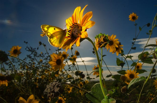 A butterfly rests on a wild sunflower growing along Highway 4 near Roberts Road in Stockton.