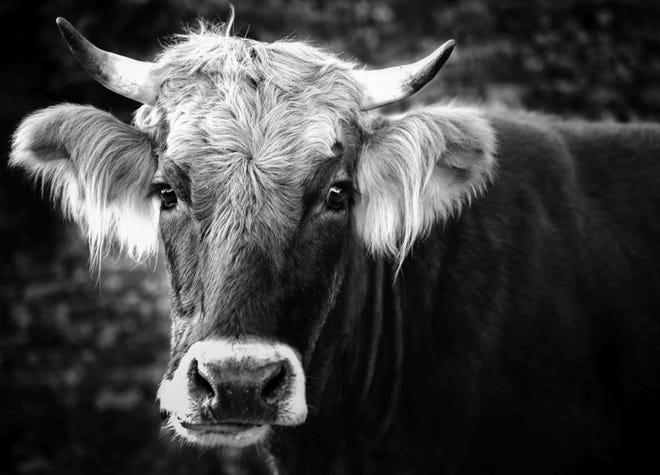 Adam Ellis earned firstplace for his 'Steer in Close Up' photo in the Medway Agricultural Commission's recent photo contest.
