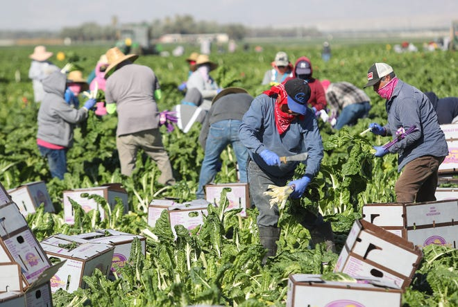Farmworkers harvest green chard in an agricultural field in Thermal, November 23, 2020.