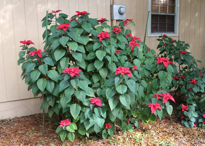 A mature poinsettia planted outside of a home.