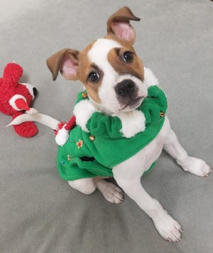 Milo is a rescue pooch from Tracy and was chosen to model this year's ugly sweater for dogs.