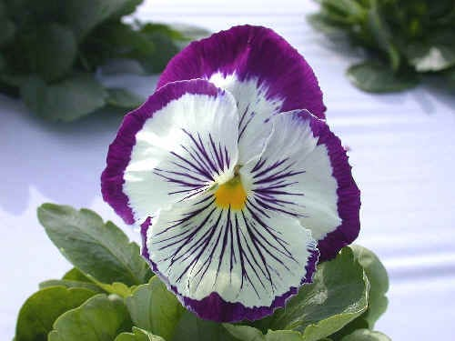 Cooler temperatures mean it's time to plant pansies.