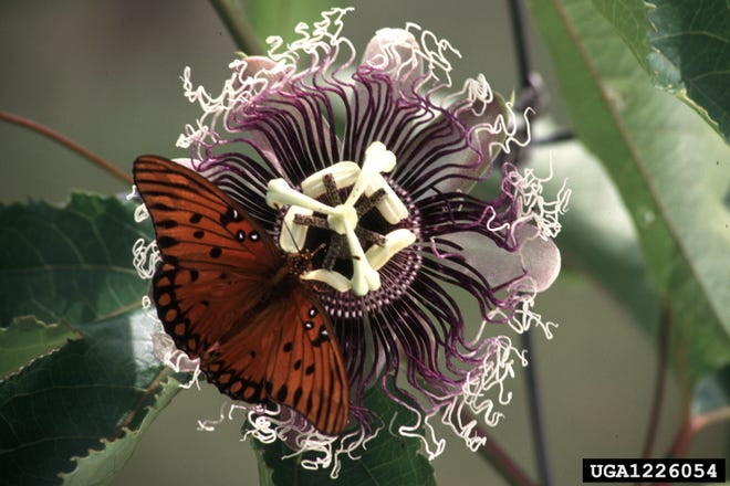 While mature gulf fritillary butterflies can source nectar from many flowers, they lay their eggs exclusively on passion vine.