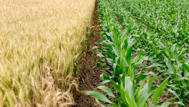 Wheat and corn are shown growing side by side. Researchers from CALS have developed a tool, FAST-GHG, to help farmers quantify greenhouse gas emissions in crop production.