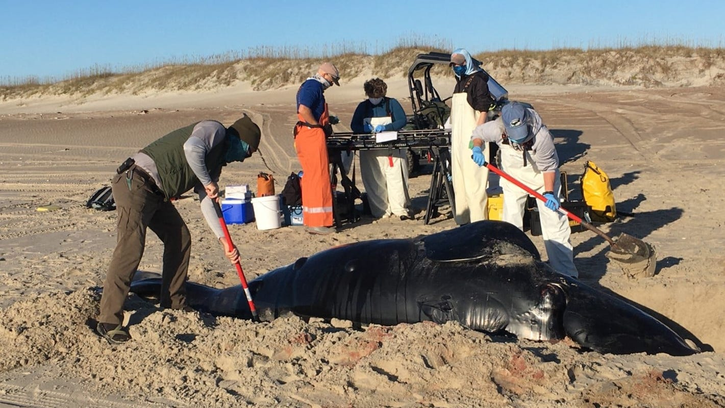 One of 'the rarest' whales in the world found dead off the coast of North Carolina