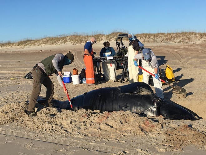 Scientists are investigating how a North Atlantic right whale calf, a critically endangered species which only has an estimated 360 animals remaining in the wild, was found washed up in the Outer Banks.