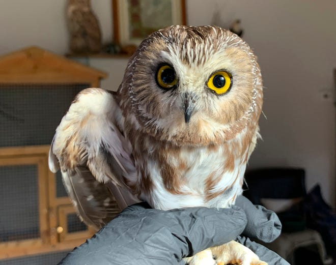 The tiny Saw-whet owl, who was named Rockefeller after it was found by a worker setting up the holiday tree at Manhattan's Rockefeller Center, has been released back into the wild after it was nursed back to health at the Ravensbeard Wildlife Center in Saugerties, N.Y.