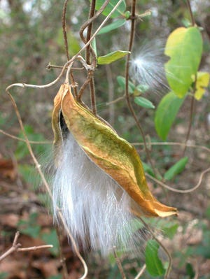 This mystery plant is related to the familiar and common milkweeds, all of which have star-shaped flowers and produce follicles as a fruit type.