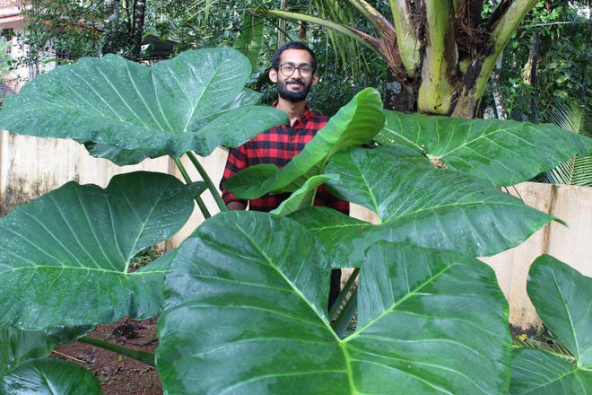 Sijo Zachariah stands behind an elephant ear plant in September on a farm that he and his father started during coronavirus lockdown in the southwestern Indian state of Kerala. Guided by a combination of online videos and techniques Zachariah's grandfather passed down to his father, they began a garden that eventually helped feed 20 neighboring households during the pandemic.