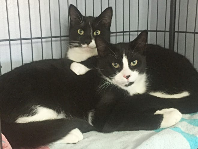 Bonded brothers Linus and Luca are available for adoption together through Scruffy Paws Animal Rescue in Warwick.