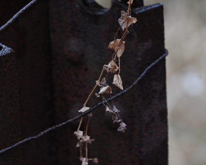 Gambar detail dari spesies invasif Asiatic tearthumb dari China di daerah berhutan di sebelah timur pertanian mahasiswa Albion College.