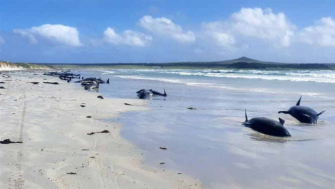 In total, per the New Zealand Department of Conservation, 97 pilot whales and three dolphins died due to the stranding.