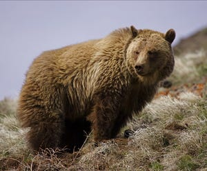 A mature male grizzly bear